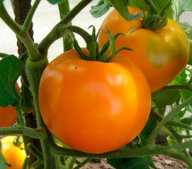 Описание сорта томата Хурма и особенности выращивания