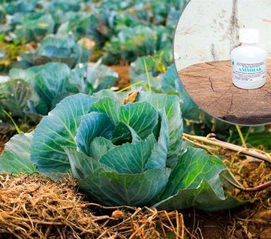 Как защитить капусту с помощью нашатырного спирта от вредителей