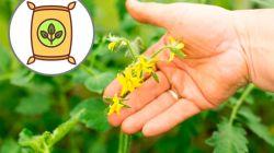 Подкормка помидоров во время цветения, завязи и плодоношения