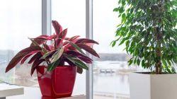 Особенности выращивания строманты в домашних условиях