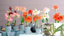 Уход за гиппеаструмом после цветения