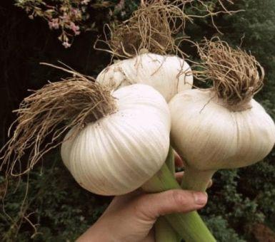 Агротехника выращивания чеснока сорта Рокамболь