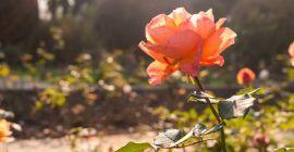 Как подготовить кусты роз к зиме