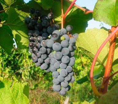 Выращивание и особенности амурского винограда