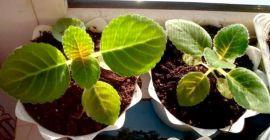 Пошаговая инструкция по выращиванию глоксинии из семян