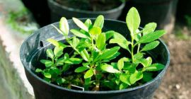 Как размножить азалию – советы и рекомендации