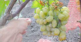 Августин – все об удивительном сорте винограда