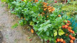 Бархатцы как защита от вредителей на огороде