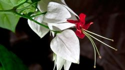 Клеродендрум или дерево судьбы — как ухаживать за комнатным цветком