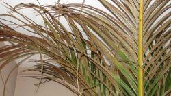 Болезни пальм: почему листья желтеют и сохнут в домашних условиях