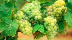 Как вырастить виноград в Башкирии