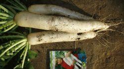 Выращивание дайкона сорта Миноваси