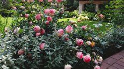 Как правильно обрезать розы осенью