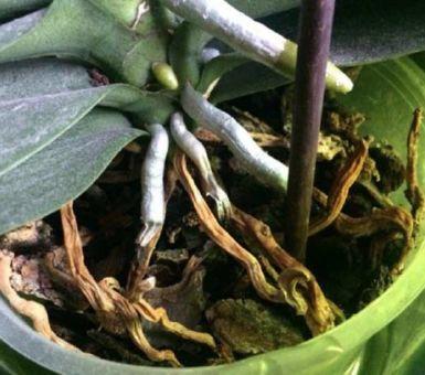 Почему у орхидеи сохнут корни и как ее спасти