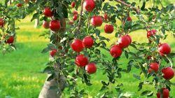 Что нужно знать об обрезке яблони
