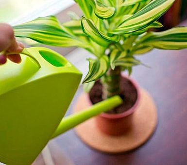Особенности полива драцены в домашних условиях