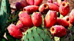 Вкусный кактус Опунция инжирная: экзотика не для всех