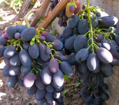 Все о винограде Кодрянка