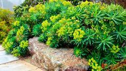 Садовый многолетний молочай: красив, универсален, неприхотлив