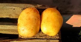 Особенности белорусского картофеля Уладар