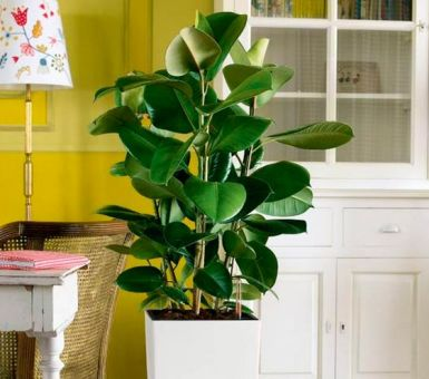 Фикус в доме: легенды и правда о «магических» свойствах цветка