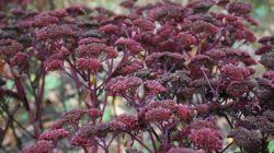 Пурпурный очиток: польза и особенности выращивания садового лекаря