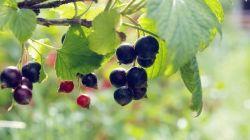 Особенности осенней и весенней пересадки смородины