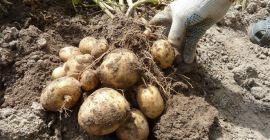 Картофель – это корнеплод или клубень? Как называется его плод?