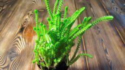 Выращивание крассулы плауновидной в домашних условиях