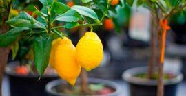 Секреты выращивания комнатного лимона в домашних условиях