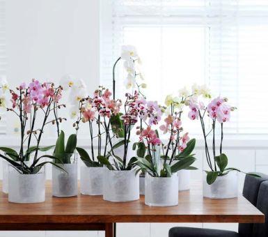 Правила полива орхидеи Фаленопсис