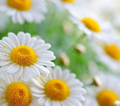 Пора цветения ромашек