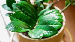 Уход за долларовым деревом в домашних условиях
