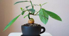 Как легко и просто вырастить авокадо в домашних условиях