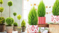 7 лучших хвойных растений для дома