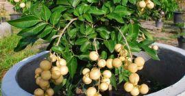 Особенности выращивания экзотического фрукта лонган