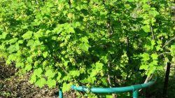 Обрезка смородины осенью и весной: схема и подробное описание