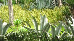 Родина происхождения сансевиерии и условия выращивания