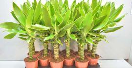 Многообразие видов драцены и уход за растением