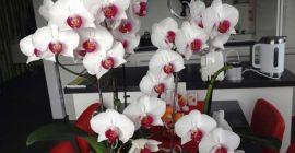 Почему орхидея сбрасывает бутоны и цветы