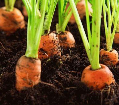 Морковь: как и в какие сроки убирать
