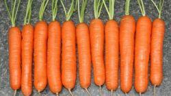 Выращивание моркови сорта Нантская