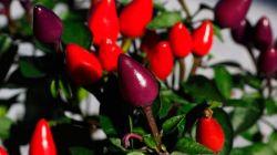 Как правильно выращивать декоративный перец в домашних условиях