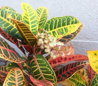Цветение кротона в домашних условиях