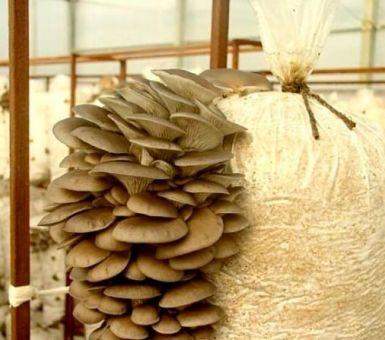 Как получить высокий урожай вешенок в домашних условиях