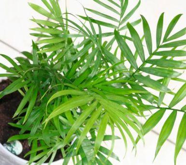 Правильный уход за хамедореей элеганс в домашних условиях