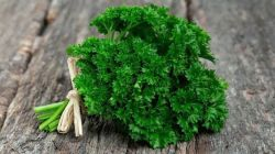 Классификация сортов листовой и корневой петрушки