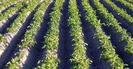 Гербициды, применимые на посадках картофеля