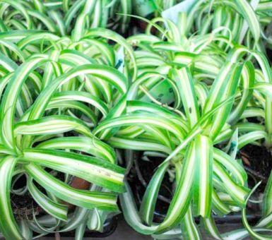 Выращивание хлорофитума хохлатого: особенности правильного ухода