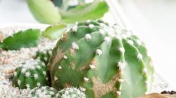 Профилактика и борьба с болезнями и вредителями кактусов
